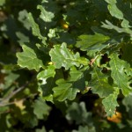 Learn About Bur Oak Blight