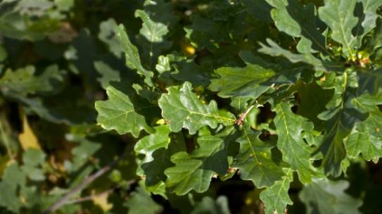 Learn About Bur Oak Blight