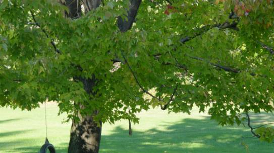 Trends in Tree Planting: Shade Trees