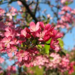 Disease and Pest Control for Cherry Trees