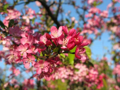 cherry tree care, cherry tree pests