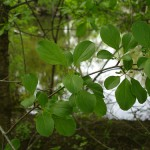 What You Need to Know About Buckthorn & Buckthorn Removal