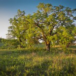 How to Identify Oak Trees