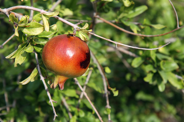 Rotten fruit on a diseased tree