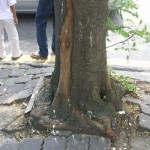 Removal of 175 Year Old American Elm