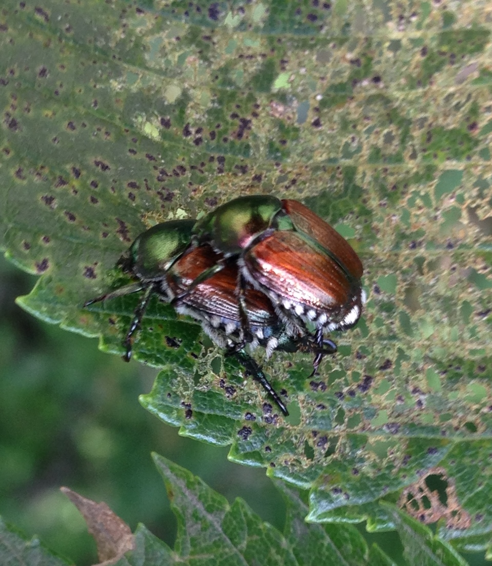 invasion of japanese beetle What's cuter than an invasion of  those aren't ladybugs — central texas sees influx of biting  the japanese insect was purposefully introduced to several.