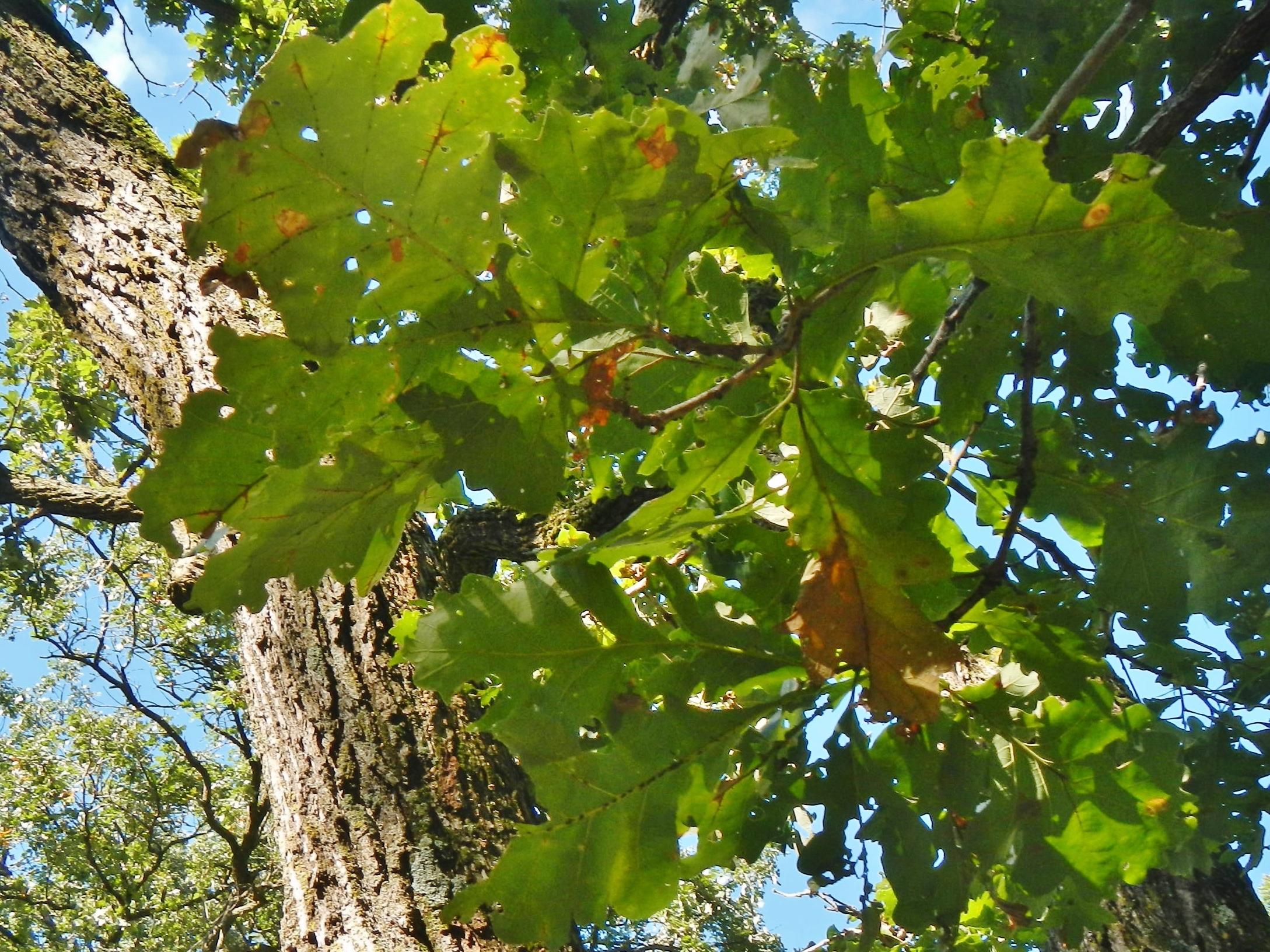 Bur Oak Blight (BOB)