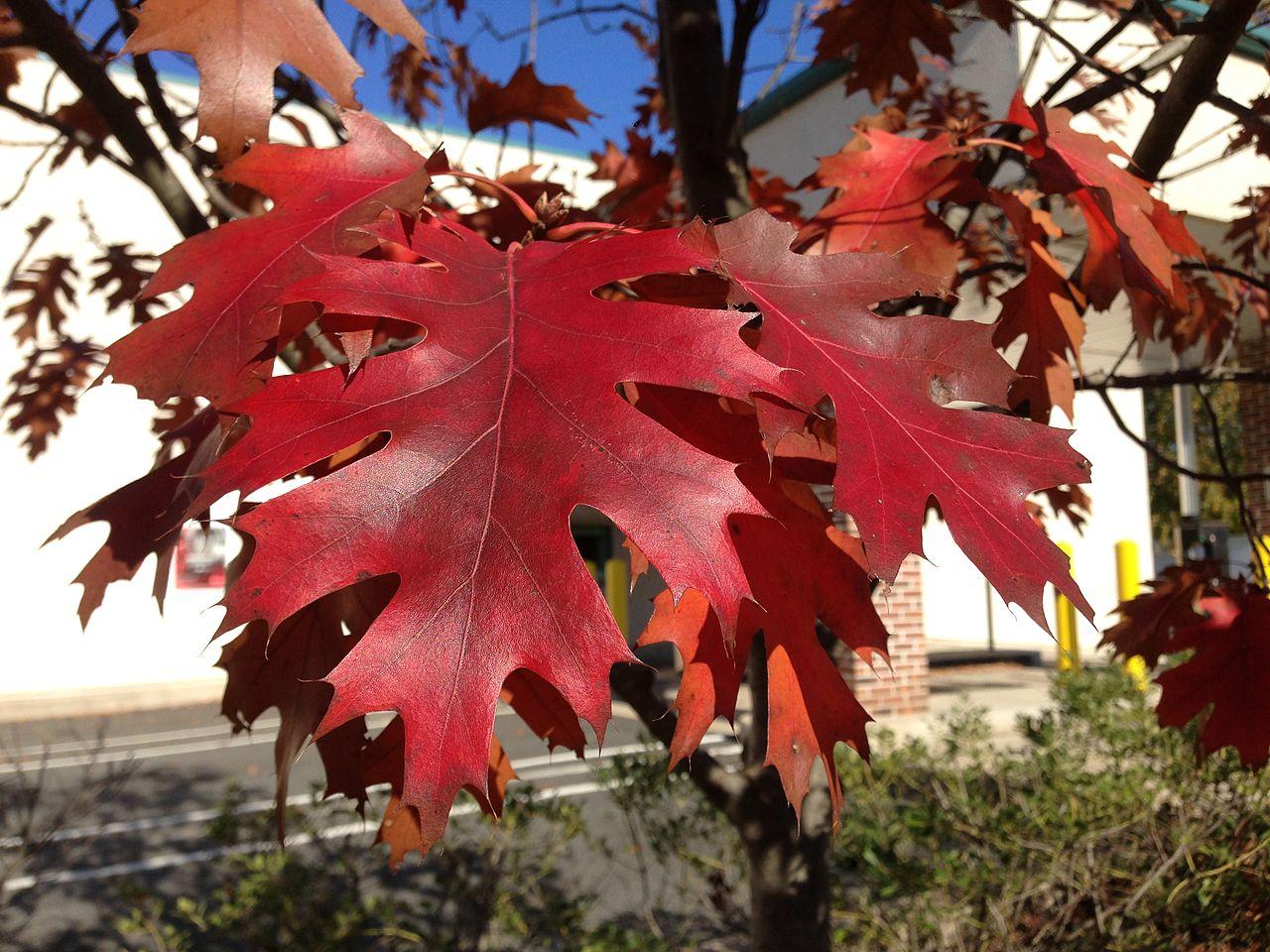 Image of red oak foliage. Oak wilt is most severe in red oaks.