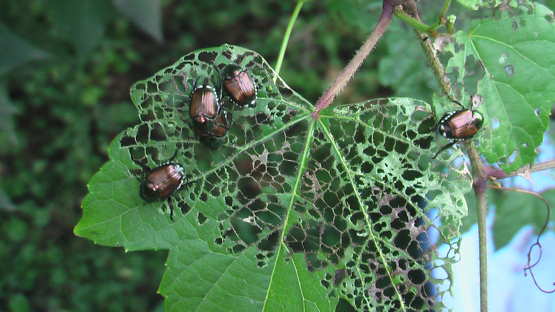 What attracts asian beetles