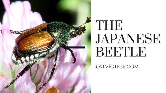 Japanese Beetle Minneapolis St. Paul Wayzata
