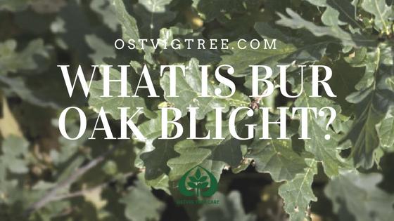 What is Bur Oak Blight?