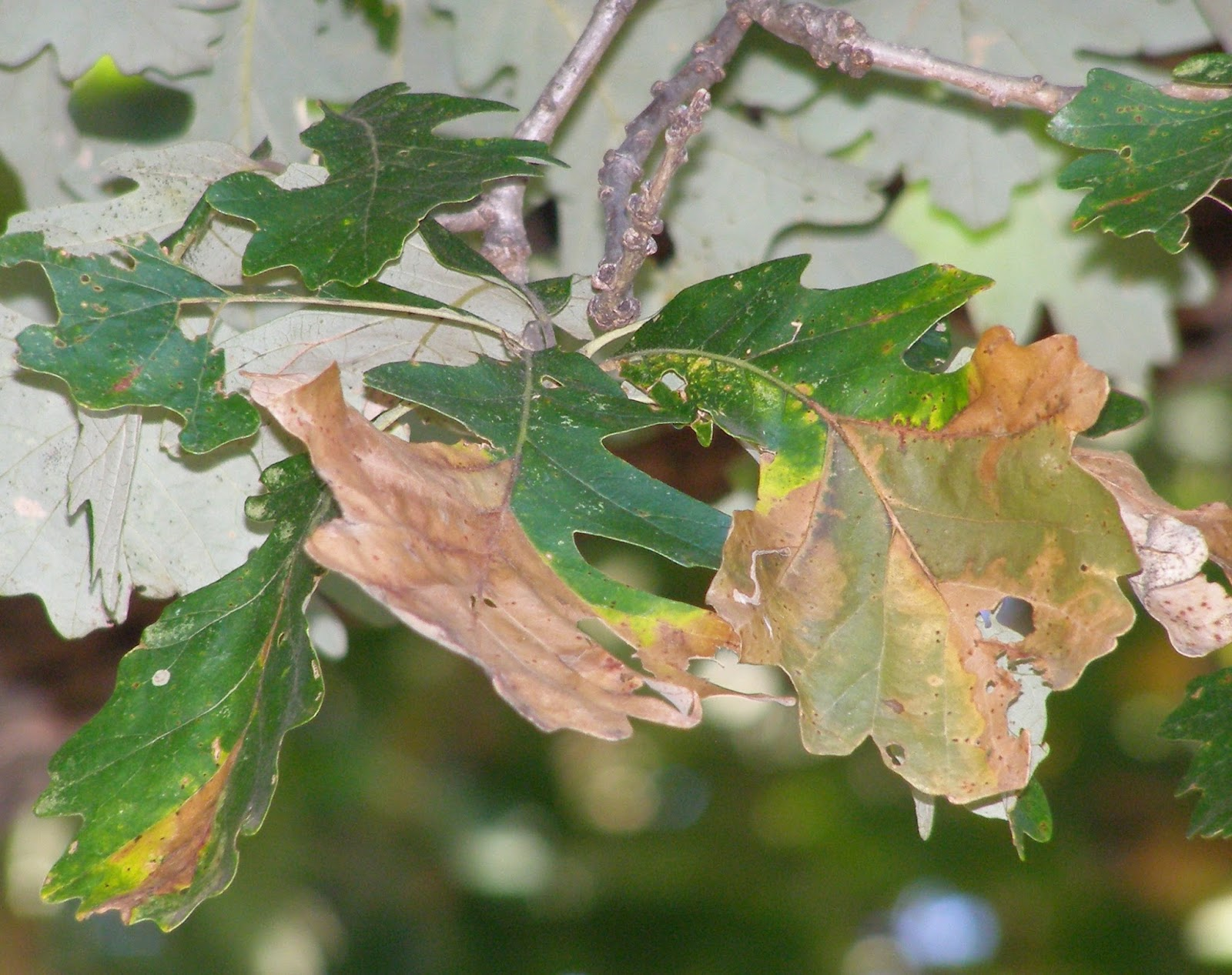 leaves with bur oak blight