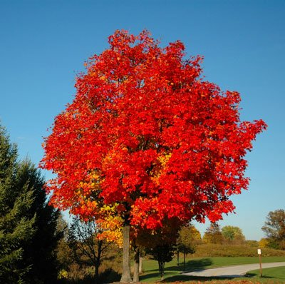 Glory Red Maple Tree
