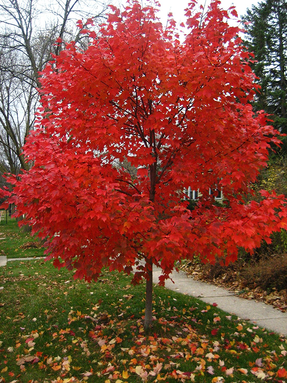 Autumn Blaze Maple Tree
