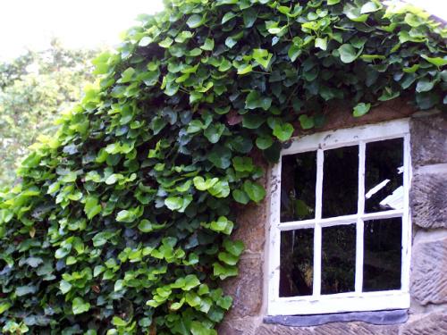 english ivy, invasive ivy