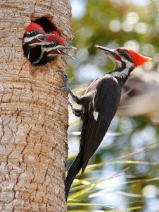 pileated_woodpecker_aidavillaronga1