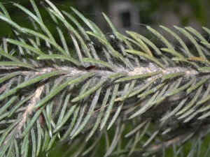 Spruce spider mites on a Colorado spruce. Note the red spots are spider mites. Not all infestations have the webbing in this photo.