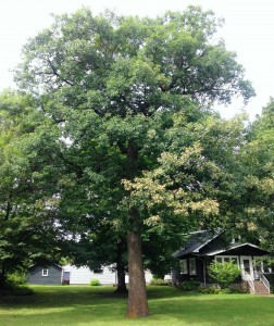Figure #3: One of many spider mite damaged oaks found throughout the Twin Cities.