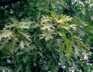 Figure #4: Severely damaged foliage on red oaks has a light tan coloration.
