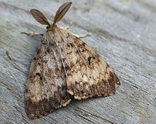 Gypsy Moth Quarantine Minneapolis St. Paul Lowry Hill