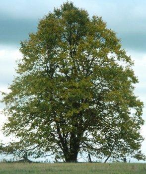 Linden Trees