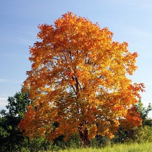 Norway Maple Tree