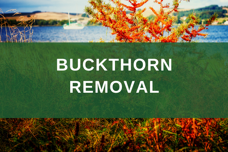buckthorn removal minnesota